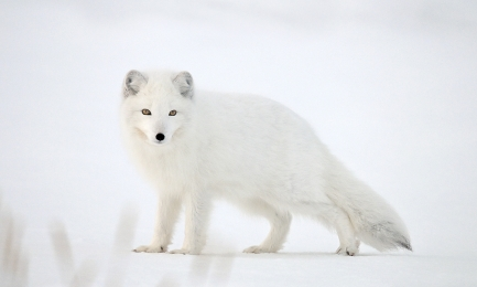 <h5>Arctic Fox _DZ61307</h5>