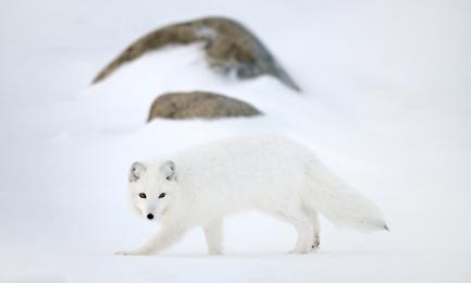 <h5>Arctic Fox DZ61296</h5>