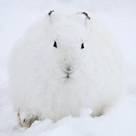 <h5>Arctic Hare DZ62028</h5>