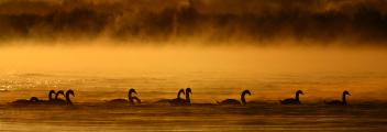 <h5>Mute Swans DZ72335</h5>
