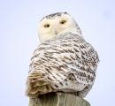 <h5>Snowy Owl DZ72620</h5>