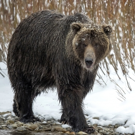 <h5>Grizzly Bear_D4S5739</h5>