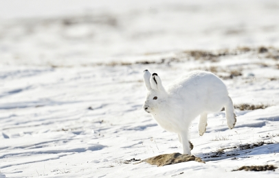 <h5>Arctic Hare D4S6885</h5>