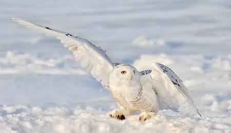 <h5>Snowy Owl 5006743</h5>
