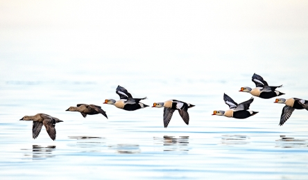 <h5>King Eiders D5S8472</h5>