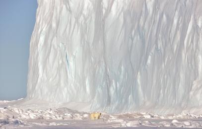 <h5>Polar Bear D806660</h5>