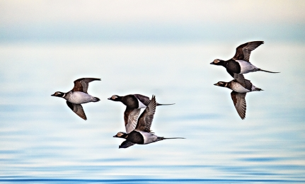 <h5>Long-tailed Ducks D5S8463</h5>