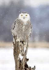 <h5>Snowy Owl SL _DZ72853</h5>