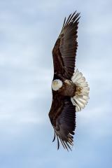 <h5>Bald Eagle D825438</h5>