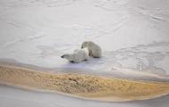 <h5>Polar Bears _DZ78486</h5>