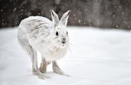 <h5>Horseshoe Hare D4S151</h5>