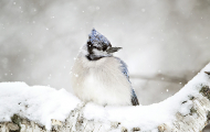 <h5>Winter Blue Jay D4S1732 </h5>