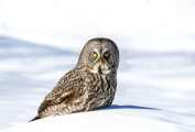 <h5>Great Gray Owl _MV80883.</h5>