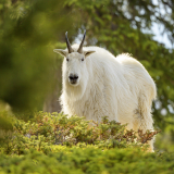 <h5>Mountain Goat, Jasper National Park</h5>