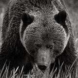 <h5>Grizzly Bear 1030</h5>