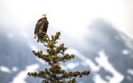 <h5>Bald Eagle, Jasper National Park</h5>