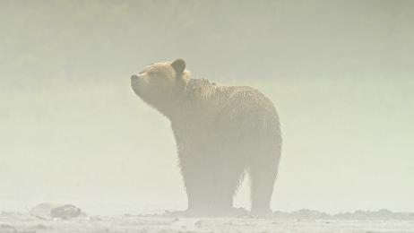 <h5>Misty Bear Z72_3084</h5>