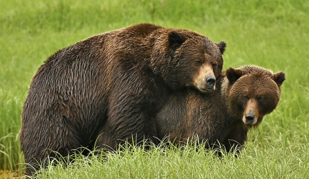 <h5>Mating Bears Z72_2366</h5>