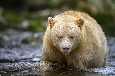 <h5>Great Bear Rainforest   DZ60787</h5>