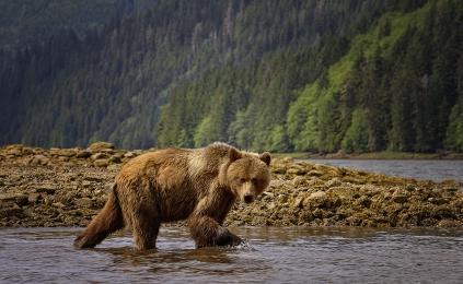 <h5>Khutzeymateen Grizzly Bear Sanctuary, BC  _DSC5382 </h5>