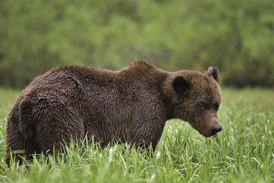 <h5>Khutzeymateen Grizzly Bear Sanctuary, BC  D5S6954 </h5>