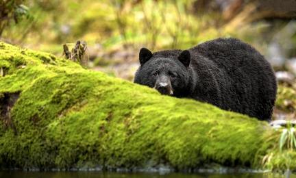 <h5>Great Bear Rainforest, BC _DZ61269</h5>