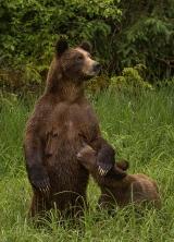 <h5>Khutzeymateen Grizzly Bear Sanctuary, BC  _DSC5040</h5>