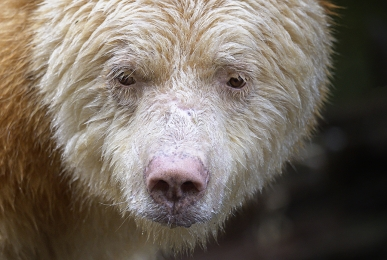 <h5>Great Bear Rainforest   DZ60891</h5>