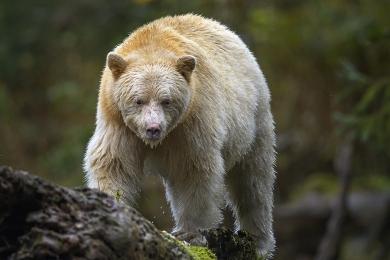 <h5>Great Bear Rainforest,   _DZ64496 </h5>