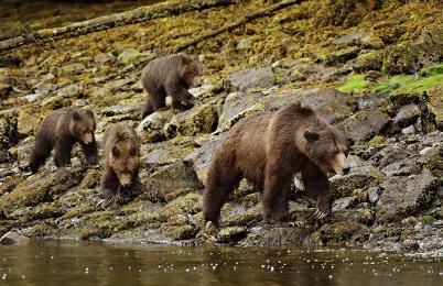 <h5>Khutzeymateen Grizzly Bear Sanctuary, BC  _D5S0370 </h5>