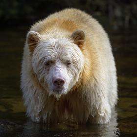 <h5>Great Bear Rainforest, BC  DZ62709</h5>