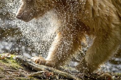 <h5> Great Bear Rainforest   D520982</h5>