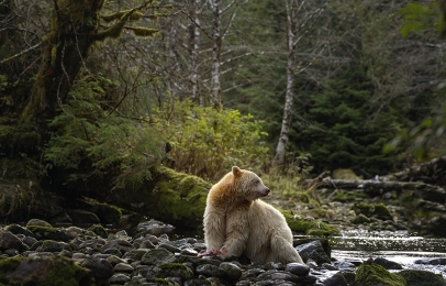 <h5>Great Bear Rainforest, BC  _DZ63909 </h5>