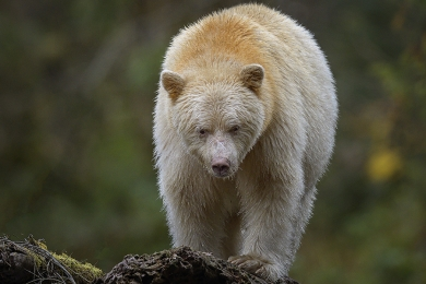 <h5>Great Bear Rainforest, BC  Z64530 c</h5>