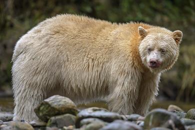 <h5>Great Bear Rainforest   DZ60934 </h5>