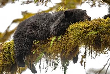 <h5>Great Bear Rainforest  _DZ61070</h5>