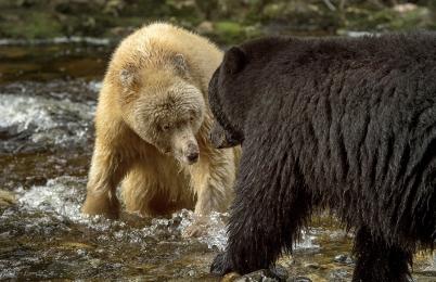 <h5>Great Bear Rainforest, BC  _D520806 </h5>