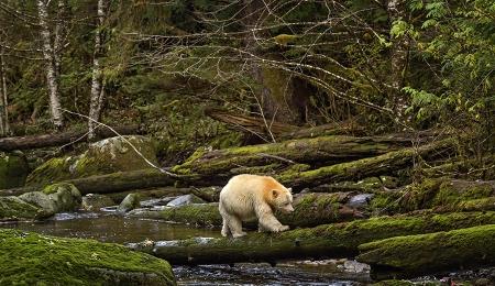 <h5>Great Bear Rainforest, BC  _DZ63644 </h5>
