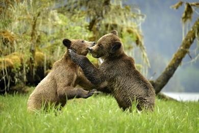 <h5>Khutzeymateen Grizzly Bear Sanctuary, BC  _D5S1542</h5>