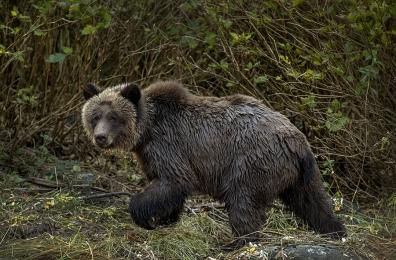 <h5>Great Bear Rainforest  D521856</h5>