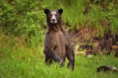 <h5>Khutzeymateen Grizzly Bear Sanctuary, BC  D5S8796</h5>