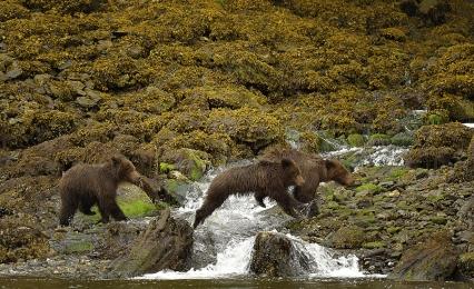 <h5>Khutzeymateen Grizzly Bear Sanctuary, BC  _D5S0260 </h5>