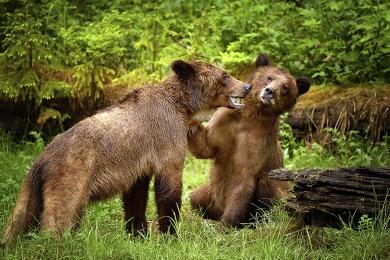 <h5>Khutzeymateen Grizzly Bear Sanctuary, BC  D5S6788 </h5>