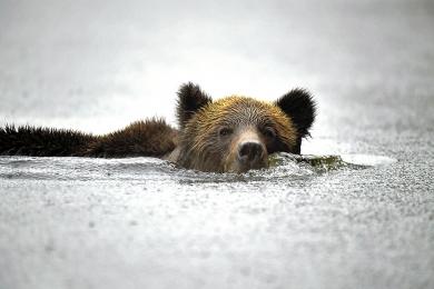 <h5>Khutzeymateen Grizzly Bear Sanctuary, BC  D5S9331 </h5>