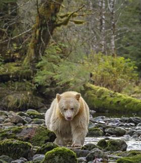 <h5>Great Bear Rainforest, BC  DZ63978 </h5>