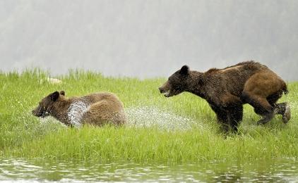 <h5>Khutzeymateen Grizzly Bear Sanctuary, BC D5S8058</h5>