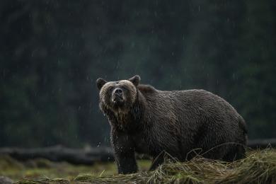 <h5>Great Bear Rainforest, BC  DZ67507 </h5>