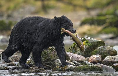 <h5>Great Bear Rainforest, BC  DZ64661 </h5>