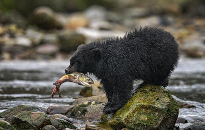 <h5>Great Bear Rainforest, BC _DZ64739 </h5>