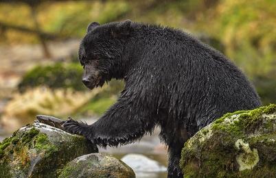 <h5>Great Bear Rainforest, BC DZ64941</h5>